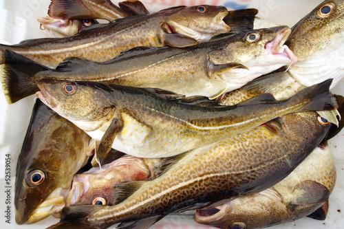 cod fish - 52539054