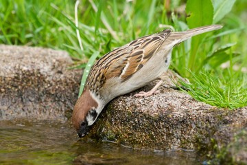 Tree sparrow taking a drink of fresh water