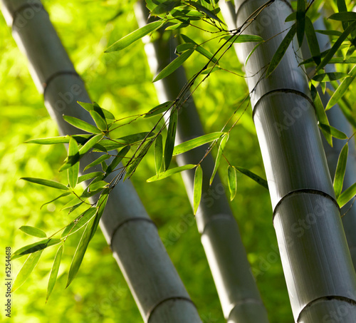 Bamboo forest background. Shallow DOF © silver-john