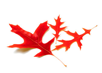 Three red leafs of oak