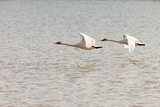 Pair of flying Trumpeter Swans Cygnus buccinator