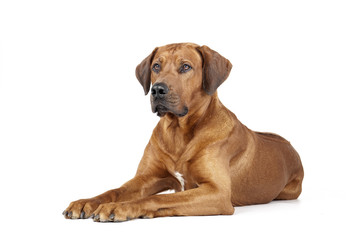 Rhodesian Ridgeback on a white background in studio