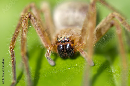 portrait of a spider in nature. macro