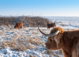 Closeup of a staring Highland cow with horns
