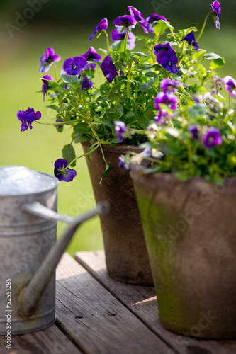 Violet in flowerpot next to galvanized watering can.