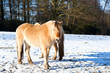horse on winter pasture