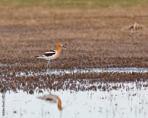 American Avocet in the marsh
