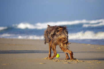 chien s'ébrouant sur la plage