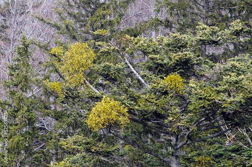 Parasitic plant mistletoe (Viscum album) on a common spruce