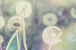 canvas print picture - close up of Dandelion with abstract color