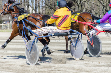 Racing horses harnessed to lightweight strollers.