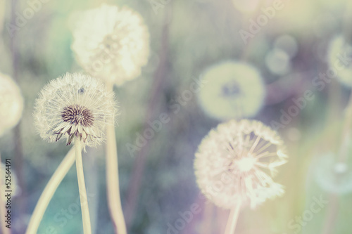 canvas print picture close up of Dandelion with abstract color