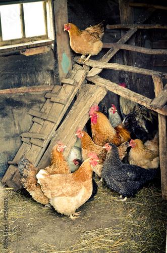 Foto op Canvas Kip chicken coop