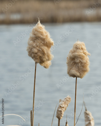Cattails in the spring