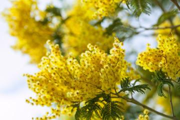 Acacia dealbata  in spring