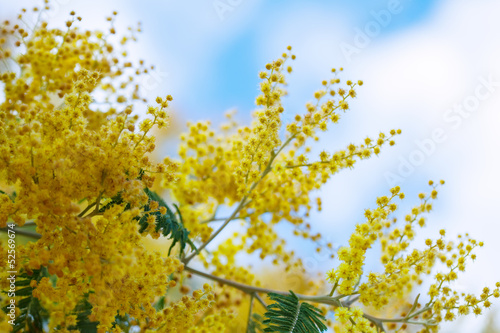 Acacia dealbata branches against sky