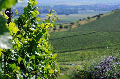 Summer vineyards