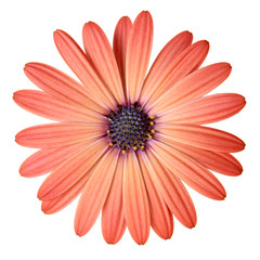 Peach Color Daisy