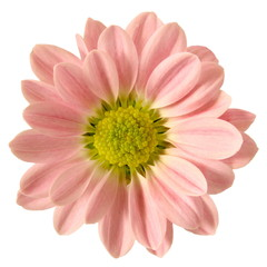 Isolated Pink Daisy