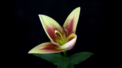Light yellow and red lily blooming timelapse