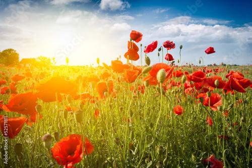 Fototapety, obrazy : Field of Corn Poppy Flowers