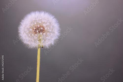 Dandelion on grey background