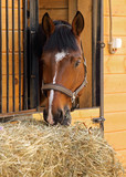 Thoroughbred horse in his stable
