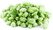 Hops on a white background.