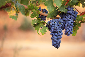 Large bunches of red wine grapes on vine