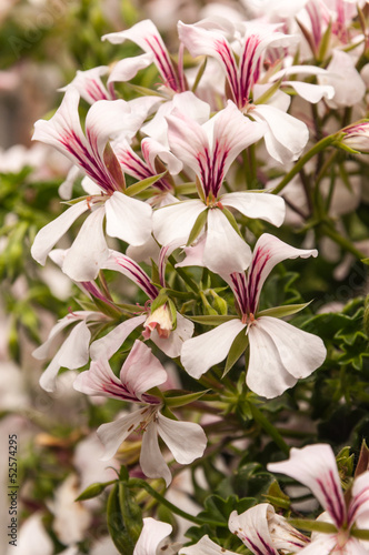 Closeup of a beautiful flowering Pelargonium plant in summertime