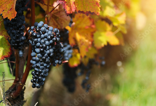 Red grapes with autumn foliage