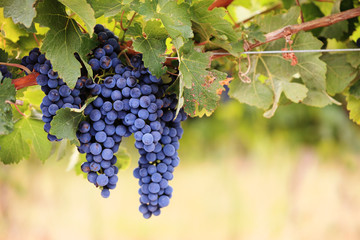Bunches of red grapes on the vine