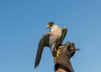 Peregrine Falcon on Falconry glove