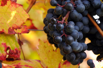 Red grapes whith colorful leaves