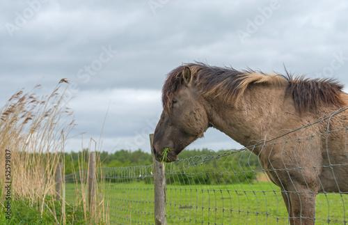 Konik horse eating grass in spring