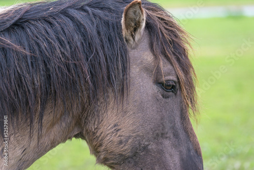 Head of a Konik horse in spring