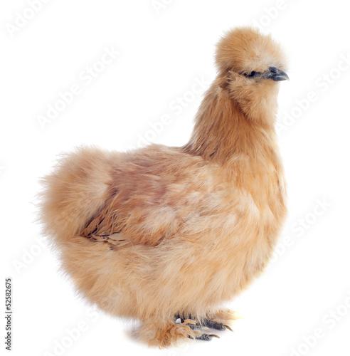 Papiers peints Poules jeune poule nègre soie