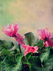 textured old paper background with begonia flower
