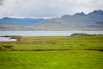 Iceland fields where sheep graze