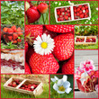 Strawberries collage - Erdbeeren collage