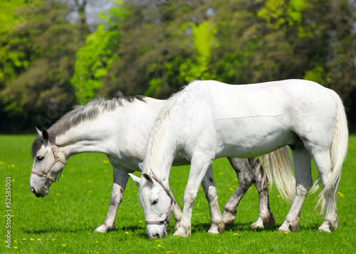 Two white horses  grazing in the pasture