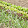 Onion and letucces growing in a vegetable garden