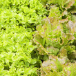 lettuces variety