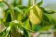 organic strawberry unripen