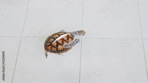 Small green turtle or Chelonia mydas in pond