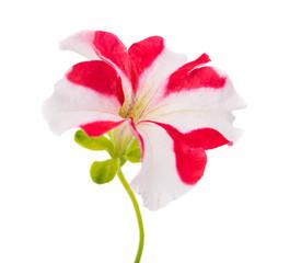 red flower of petunia