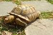 African Spurred Tortoise, Chinese Garden, Singapore
