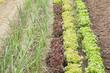 Green plants on a vegetable garden