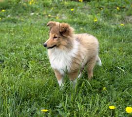 Shetland sheepdog outdoors