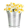 Beautiful wild camomiles in .pail, isolated on white